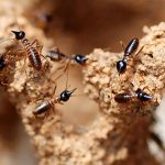 How to remove Termite from home